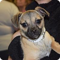 Adopt A Pet :: Isabella - Sparta, NJ