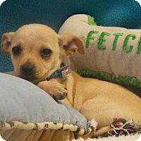 Adopt A Pet :: Spring - Vacaville, CA
