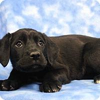 Adopt A Pet :: Cameo - Westminster, CO