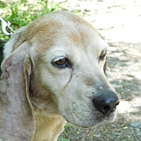 Beagle Dog for adoption in Millerstown, Pennsylvania - OCTORARO