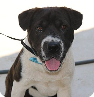 Shar Pei/Border Collie Mix Dog for adoption in Pluckemin, New Jersey - Samson