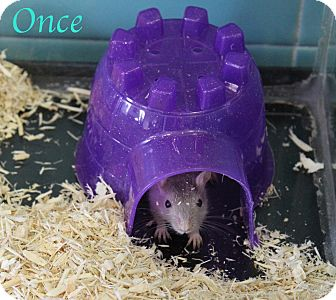 Gerbil for adoption in Bradenton, Florida - Once