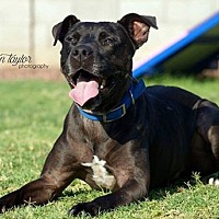 Shar Pei/American Staffordshire Terrier Mix Dog for adoption in Phoenix, Arizona - Erik