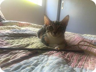 Domestic Shorthair Cat for adoption in Honolulu, Hawaii - Brenda