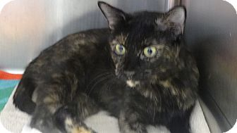 Domestic Shorthair Cat for adoption in Tucson, Arizona - CLEOPATRA
