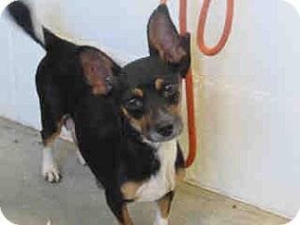 Manchester Terrier/Chihuahua Mix Dog for adoption in Corona, California - Blossom Rose, Mom of five pups