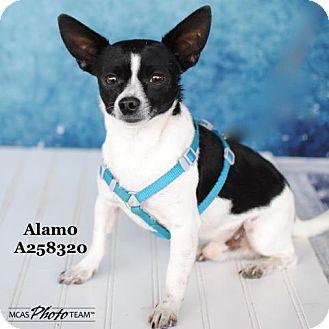 Chihuahua Dog for adoption in Conroe, Texas - ALAMO