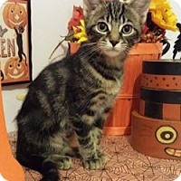 Domestic Shorthair Cat for adoption in London, Ontario - Batty
