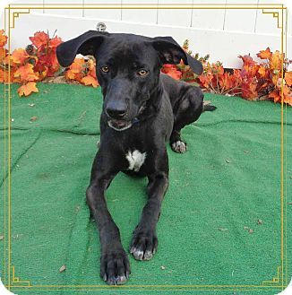 Labrador Retriever Mix Dog for adoption in Marietta, Georgia - GOOSE