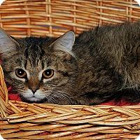 Adopt A Pet :: Calvin - Gatineau, QC