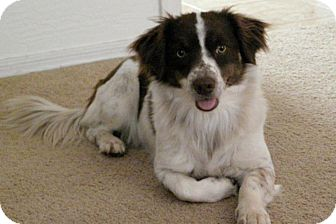 Welsh Corgi/English Springer Spaniel Mix Dog for adoption in Scottsdale, Arizona - Cookie Girl
