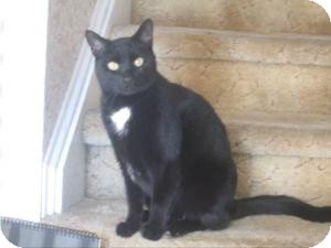 Domestic Shorthair Cat for adoption in Cranford/Rartian, New Jersey - Jerry