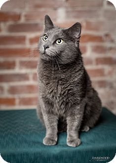 Domestic Shorthair Cat for adoption in St. Louis, Missouri - Fizz