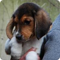 Adopt A Pet :: Myrrh - Antioch, IL