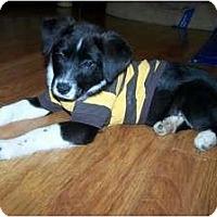 Adopt A Pet :: Pongo - Seymour, CT