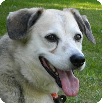 Husky/Beagle Mix Dog for adoption in Transfer, Pennsylvania - Zeus