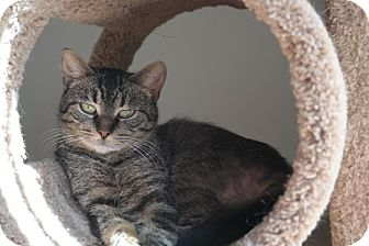 Domestic Shorthair Cat for adoption in Wyandotte, Michigan - Na Lisa