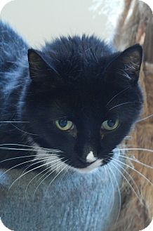 Domestic Shorthair Cat for adoption in Monroe, Connecticut - Coco