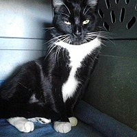 Domestic Mediumhair Cat for adoption in San Jose, California - Whisper