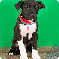 Adopt A Pet :: Leo - Berkeley Heights, NJ
