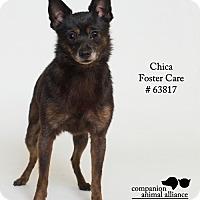 Adopt A Pet :: Chica (Foster) - Baton Rouge, LA