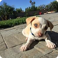 Adopt A Pet :: Freddie - Brea, CA