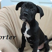 Adopt A Pet :: Porter - Bartonsville, PA