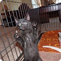 Adopt A Pet :: Zeus - Stafford, VA