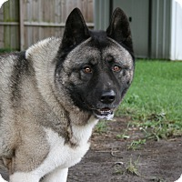 Adopt A Pet :: Angelo - Virginia Beach, VA