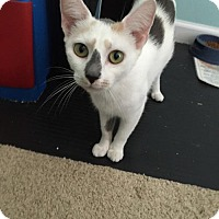 Oriental Cat for adoption in Herndon, Virginia - Mewtwo