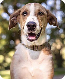 Great Dane Mix Puppy for adoption in St. Louis, Missouri - Dixie