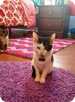 Domestic Shorthair Kitten for adoption in Chesapeake, Virginia - Cookies and Cream