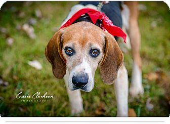 Beagle/Hound (Unknown Type) Mix Dog for adoption in Zanesville, Ohio - Snickers - RESCUED!
