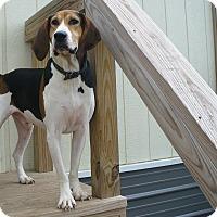 Treeing Walker Coonhound Mix Dog for adoption in Manhattan, Kansas - Tippy