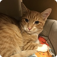 Adopt A Pet :: Steve - Barrington Hills, IL