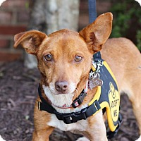 Chihuahua/Dachshund Mix Dog for adoption in Cary, North Carolina - Pinto
