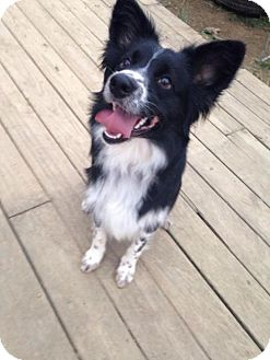 Shepherd (Unknown Type)/Collie Mix Dog for adoption in Centerburg, Ohio - Cooper