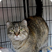 Domestic Shorthair Cat for adoption in Glenwood, Minnesota - Ireland