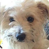 Adopt A Pet :: Millie - Encino, CA