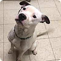 Terrier (Unknown Type, Medium)/American Pit Bull Terrier Mix Dog for adoption in Fulton, Missouri - Hamish- Ohio