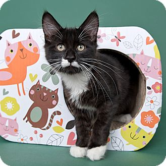 Domestic Longhair Cat for adoption in Wilmington, Delaware - Boscov
