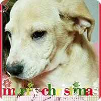 Labrador Retriever Mix Puppy for adoption in Seaford, Delaware - Blitzen