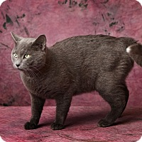 Adopt A Pet :: The Purrinator - Harrisonburg, VA