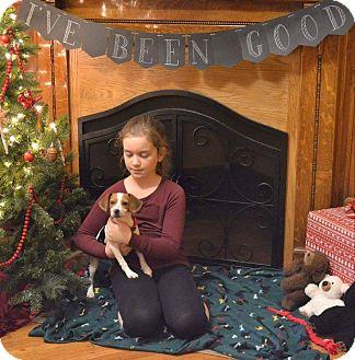 Beagle Puppy for adoption in Huntington, Indiana - Maria