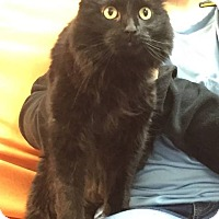 Adopt A Pet :: Licorice - Hawk Point, MO
