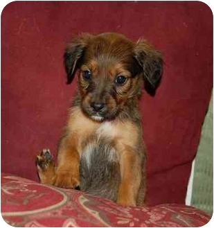Spaniel (Unknown Type)/Labrador Retriever Mix Puppy for adoption in Chula Vista, California - Chloe