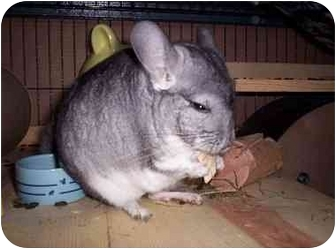 Chinchilla for adoption in Avondale, Louisiana - Cuddles