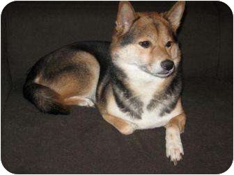 Shiba Inu Dog for adoption in Round Lake, Illinois - Cali (Nebraska)