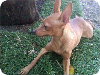 Miniature Pinscher Dog for adoption in Sun Valley, California - Bambi
