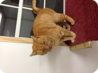Domestic Shorthair Cat for adoption in Aiken, South Carolina - Henry